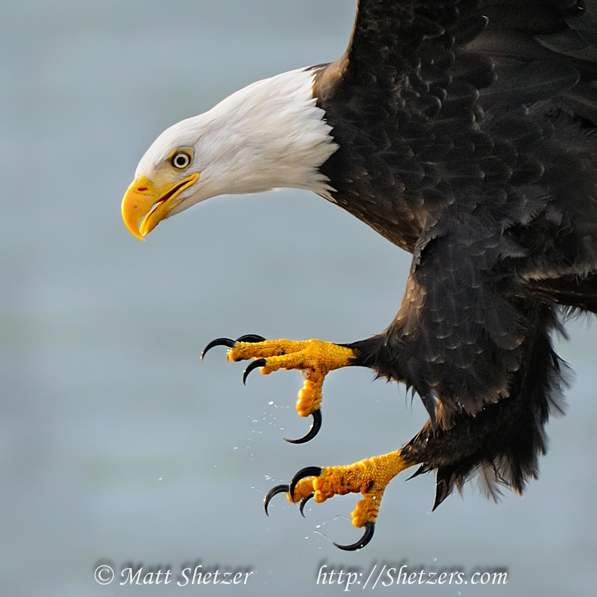 Bald Eagle close up with talons